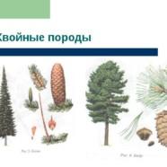 Удивительные особенности пиломатериалов из хвойных пород деревьев
