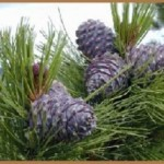 Хвойные пиломатериалы: особенности видов и сфера применения древесины хвойных пород